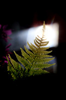 1440 - Fern at the window