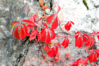 1756 - Red autumn leaves on cliff