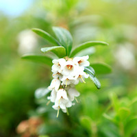 1702 - Lingonberry flowers