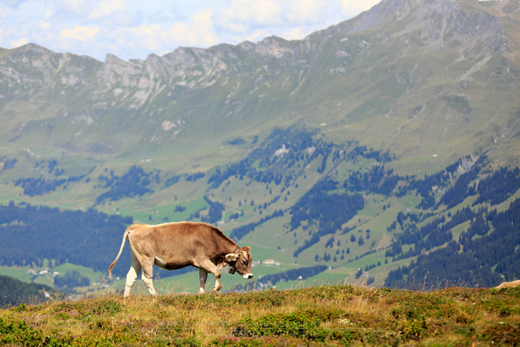 1767 - Lonely cow at alps
