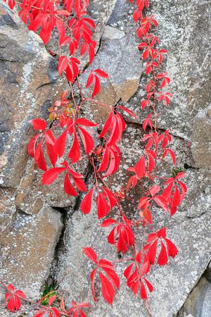 1755 - Red autumn leaves on cliff II